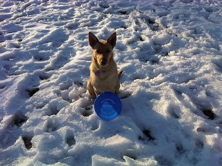 Marina the Northstar Dog